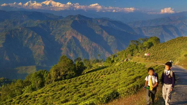 Living Mountains Tea Darjeeling India