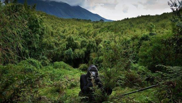 Mountain Gorillas Central African Virunga Mountains