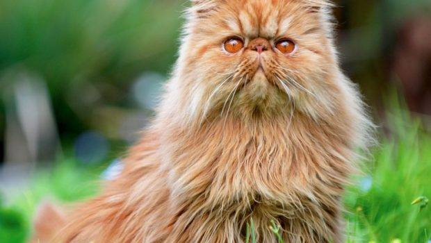 Pros Cons Different Cat Breeds Petful