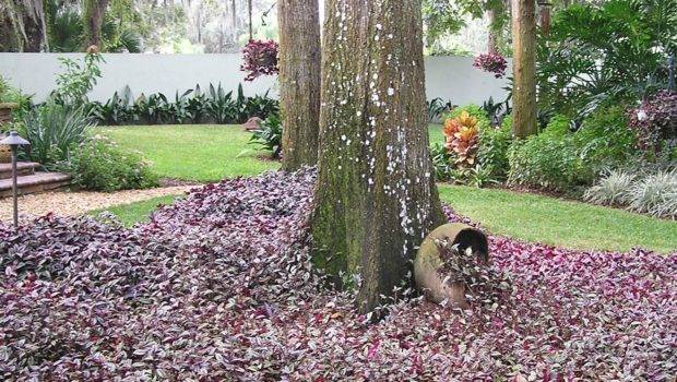 Purple Wandering Jew Makes Rich Looking Ground Cover Around